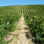 The Grande Dalles hillside vineyard